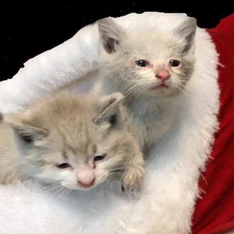 Two Christmas Kittens helped by Touched by an Animal